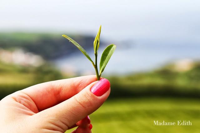 jak rośnie herbata