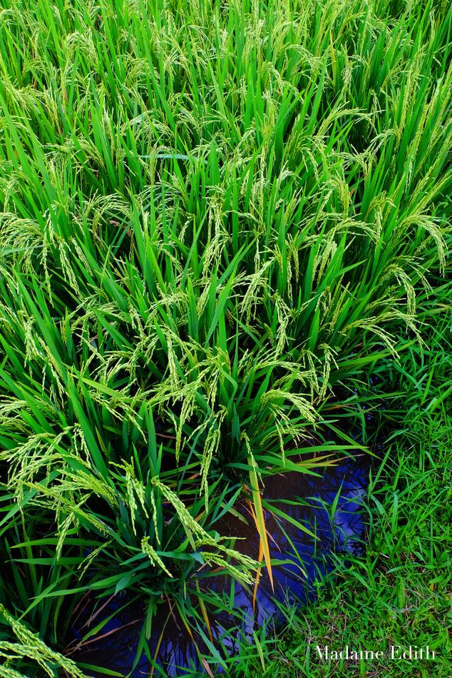 jak-rosnie-ryz-24
